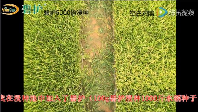 碧護美果-水稻病蟲害防治,水稻增產,水稻栽培,水稻種植技術